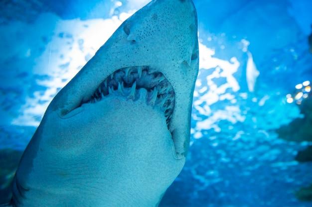 Tigerhai im meerwasser. großer hai im tiefblauen wasser.