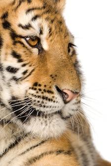 Tigerjunges (5 monate) vorne auf einem weißen isolierten