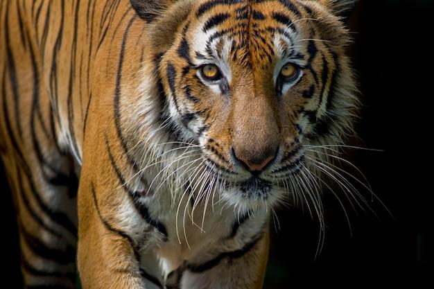 Tigerportrait vor schwarzem hintergrund