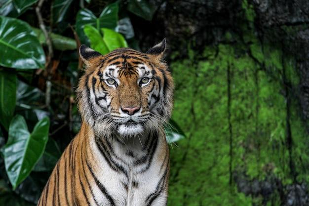 Tigershowgesicht setzen sich im wald hin