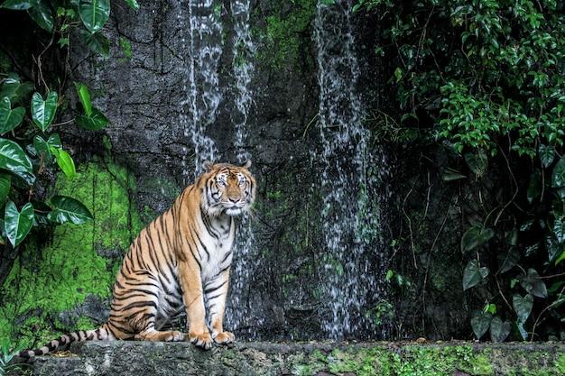Tigershowzunge, die vor miniwasserfall geht