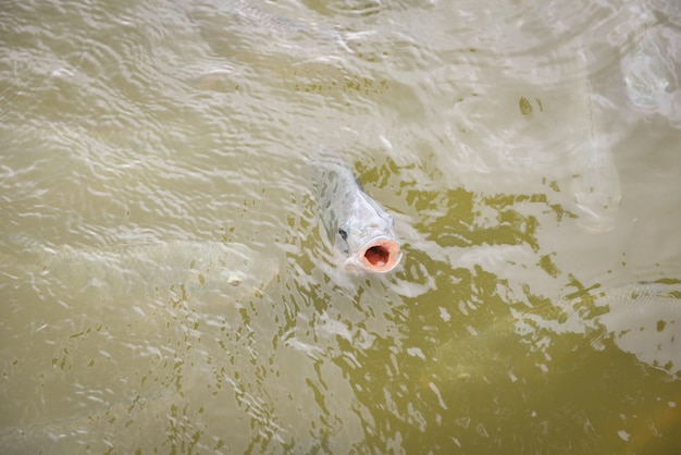 Tilapia, der auf oberfläche im fluss frisch schwimmt