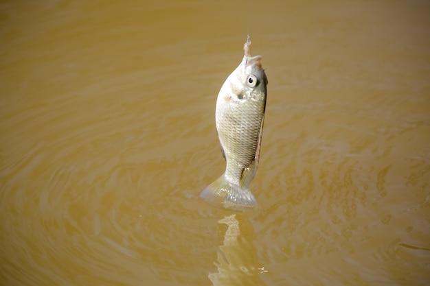 Tilapia ist der gebräuchliche name für mehrere arten von süßwasserbuntbarschen