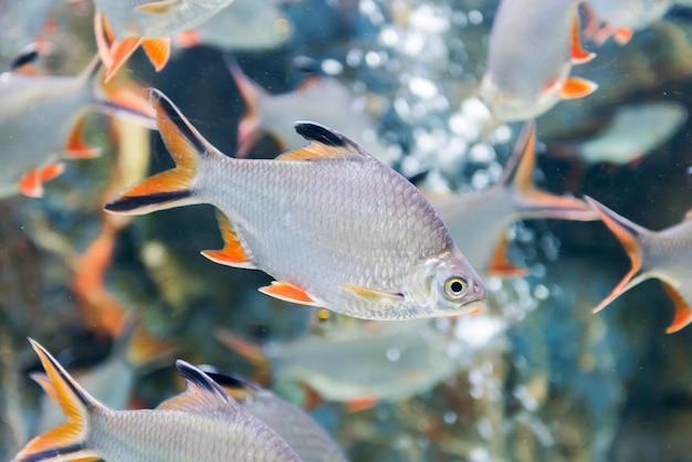 Tinfoil widerhakenfische, süßwasserfische in thailand