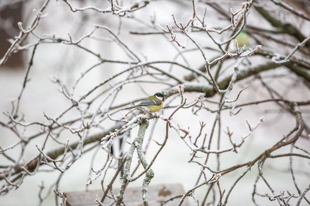 Tit, parus auf dem ast, der im winter nach einem vogelfutter sucht Premium Fotos