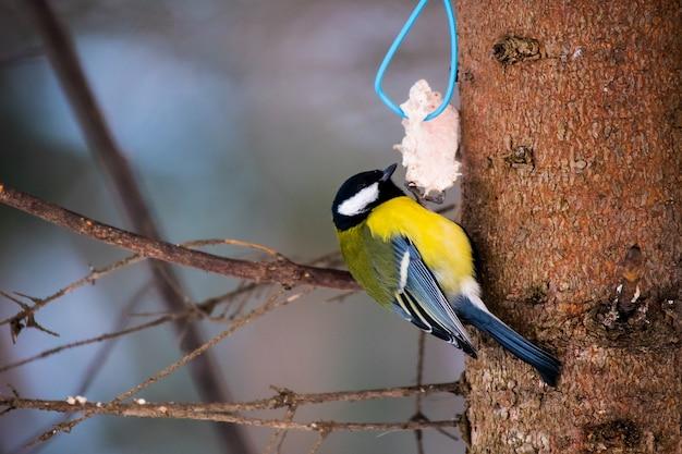 Tit parus major sitzt auf dem feeder und isst im winter essen