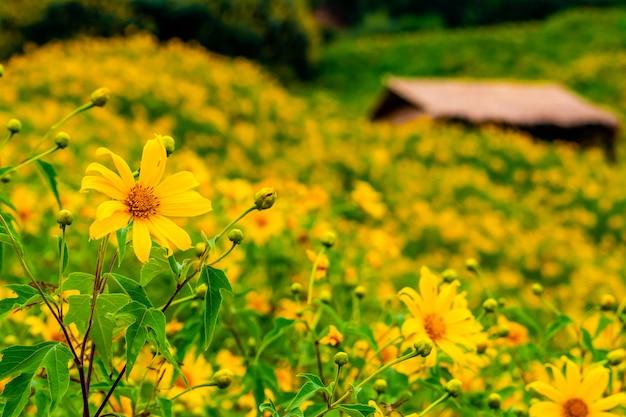 Tithonia diversifolia. gelbe blume des bua tong bei doi hua mae kham in chiang rai, thailand.