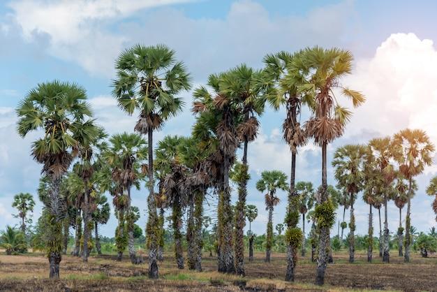 Toddypalme, landschaftsansicht der zuckerpalme mit blauem himmel