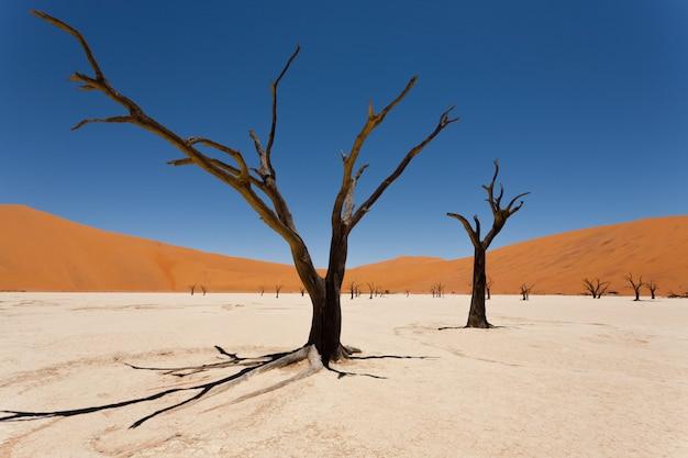 Todesbaum bei dead vlei, sossusvlei, namibia wüste