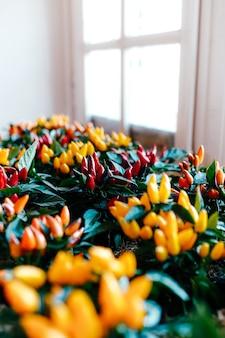 Töpfe mit kleinen dekorativen roten, gelben und orangefarbenen paprikaschoten am fenster.