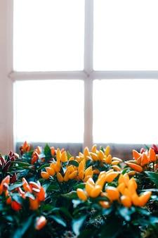 Töpfe mit kleinen dekorativen roten, gelben und orangen paprikaschoten am fenster