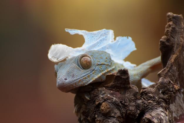 Tokay gecko auf einem baumstamm