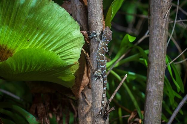 Tokay gecko auf einem tropischen baum in der nacht auf der insel koh phangan, thailand