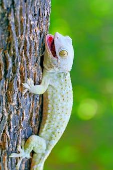Tokay gecko im zweig des holzes