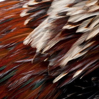 Tollbunt tricolor polnisches huhn, stehend