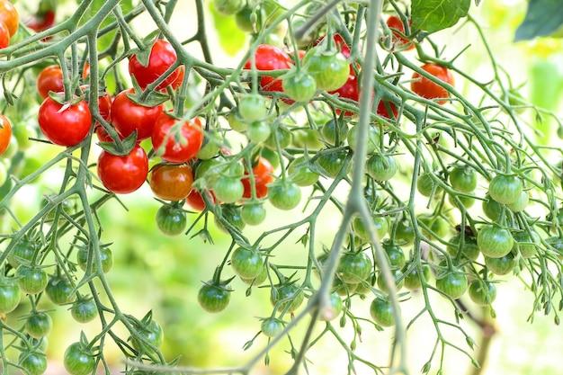 Tomate auf zweigernte