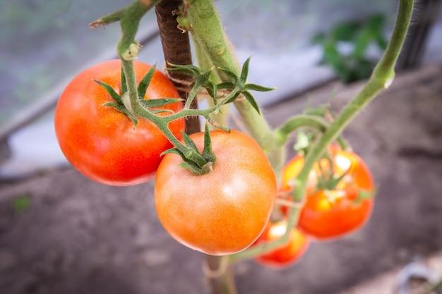 Tomate, die im biohof, reife natürliche tomaten wachsen auf einer niederlassung im gewächshaus wächst