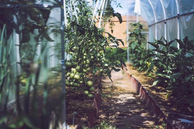 Tomate. eine tomate im gewächshaus anbauen