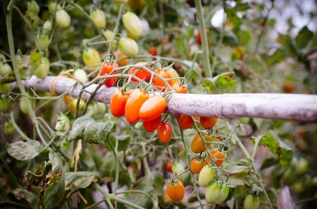 Tomaten am baum hängen, vintage tomaten