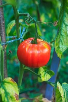 Tomaten auf dem gebiet