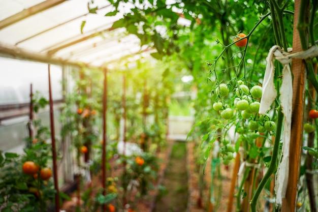 Tomaten, die in einem gewächshaus wachsen. gemüsebau-konzept