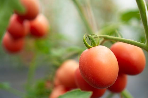 Tomaten, die in modernen gewächshäusern angebaut werden