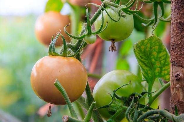 Tomaten hängen an einer niederlassung im gewächshaus. gemüse aus eigenem anbau. gemüse im gewächshaus. gvo-freies gemüse.