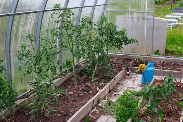 Tomaten und paprika in einem gewächshaus. garten- und bewässerungskonzept
