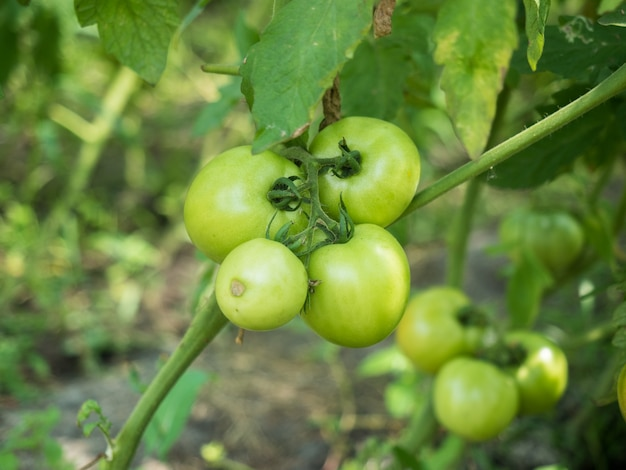 Tomaten wachsen auf der pflanze