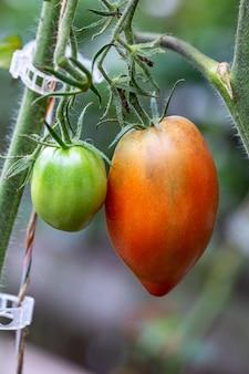 Tomaten wachsen in einem gewächshaus, nahaufnahme