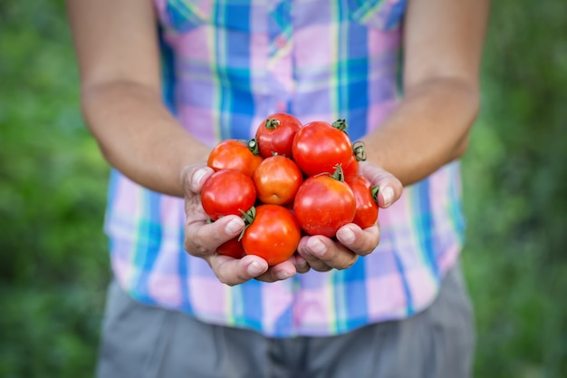Tomatenernte in den händen der bäuerin