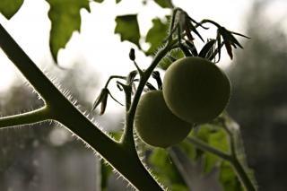 Tomatenpflanze, viele
