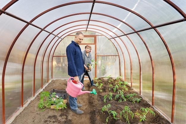 Tomatenpflanzen der erwachsenen frau in den bodengewächshäusern