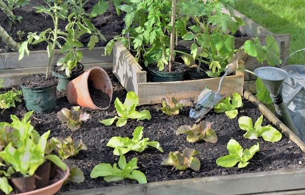 Tomatenpflanzen und salat in einer kiste auf den boden eines gemüsegartens setzen, um zu pflanzen