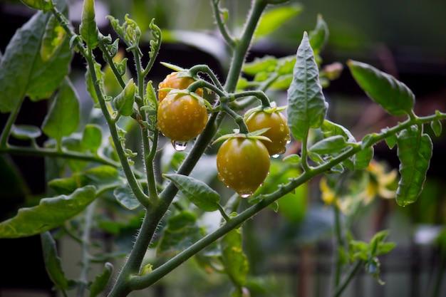 Tomatenpflanzen während des monsuns