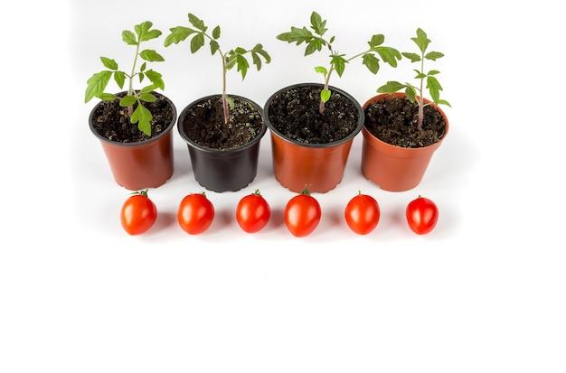 Tomatensämlinge in einem topf und tomatenfrüchte auf weißem hintergrund, kopienraum.