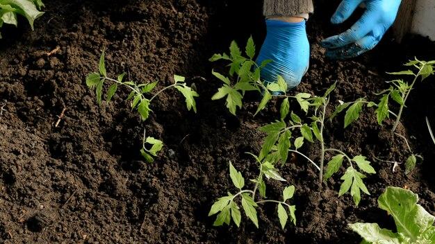 Tomatensämlinge mit eigenen händen pflanzen