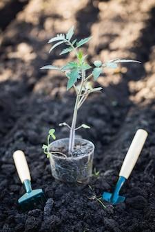 Tomatensämlinge vor dem einpflanzen in den boden