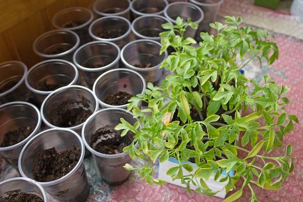 Tomatensämlinge zu hause, in töpfe pflanzend