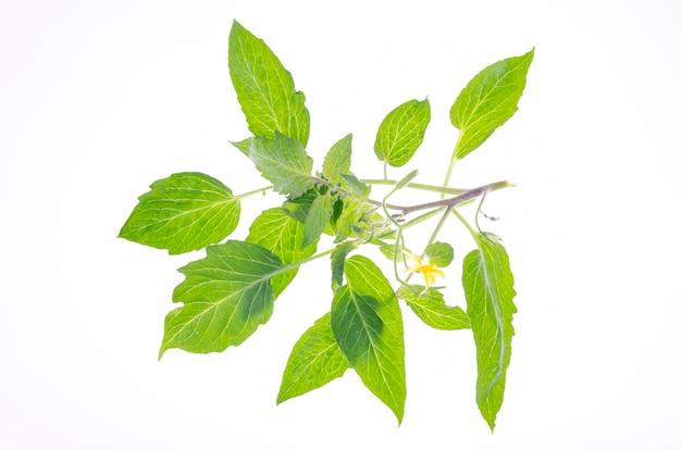 Tomatenzweig mit grünen blättern und gelben blüten. studiofoto.