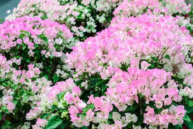 Tonblumen-blumenblühen des weißen rosas des bouganvillas weißes zwei