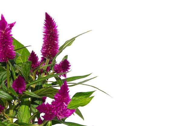 Topf hahnenkamm celosia spicata pflanze isoliert auf weiß. die rosa blume von celosia spicata gehört zur familie der amaranthaceae, der heimischen tropischen blume.
