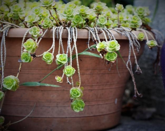 Topf hing eith grünen blüten