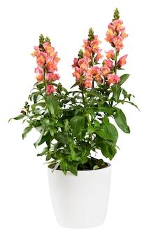 Topf löwenmaul oder drachenblume pflanze isoliert auf weiß