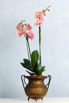 Topf mit rosa orchidee auf blauem hintergrund