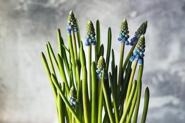 Topf muscari oder traubenhyazinthenpflanze.