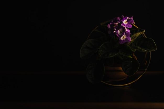 Topf viola pflanze