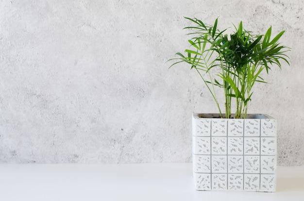 Topfpflanze chamaedorea nahe grauer betonwand