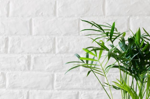 Topfpflanze chamaedorea nahe weißer backsteinmauer