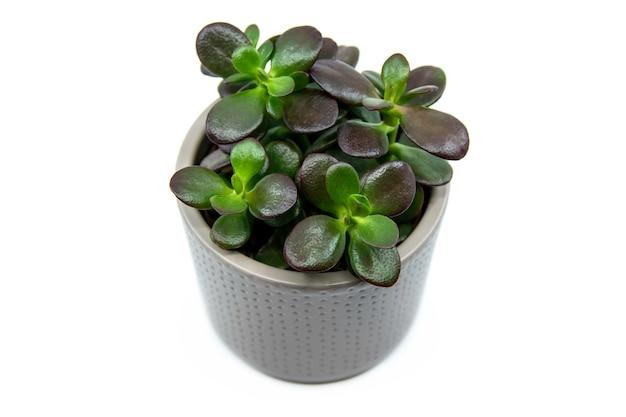 Topfpflanze crassula ovata oder pigmyweeds heimpflanze isoliert auf weißem hintergrund diese pflanze ist bekannt dafür, ein reichtums-glück-fengshui-symbol zu sein kleine crassula ovata nahaufnahme draufsicht top